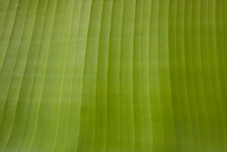 banana leaf: Textura de hoja de pl�tano