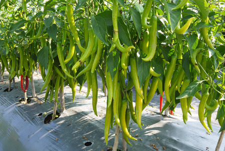 Hot pepper plant in fruiting stage with too many fruits photo