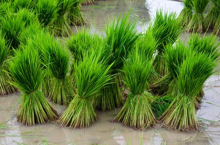 transplanting: Rice seedling ready to transplanting