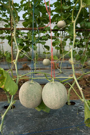 fruiting: Japanese melon in fruiting stage Stock Photo