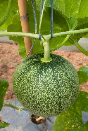 fruiting: Melon in fruiting stage
