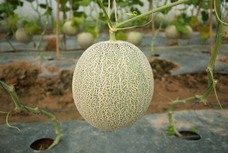 fruiting: Japanese melon crop in fruiting stage Stock Photo