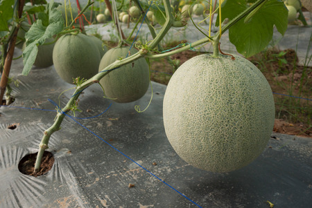 fruiting: Melon crop in fruiting stage
