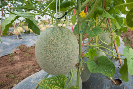 fruiting: Japanese melon crop in fruiting stage Editorial