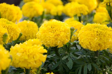 garden marigold: Marigold garden