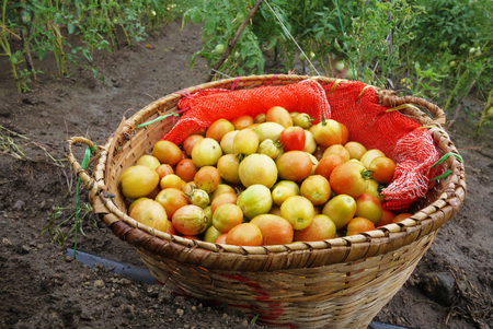 Fresh tomato in a basket just harvested from farm with Asia tradition