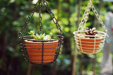 Little succulent pot plant decorative hanging style under warm morning light