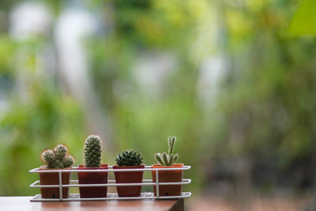 Small cactus pot plant with green garden background in backyard, copy space