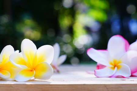Yellow and pink plumeria flower on wooden board background, copy space, relaxation pagoda flower