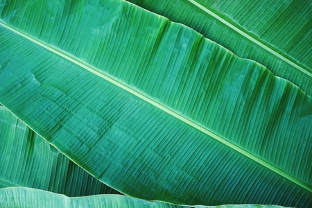 Banana leaf texture, green exotic tropical pattern background concept 免版税图像
