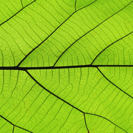 Rich green leaf texture see through symmetry vein structure, 1:1, natural organic texture concept Stock Photo