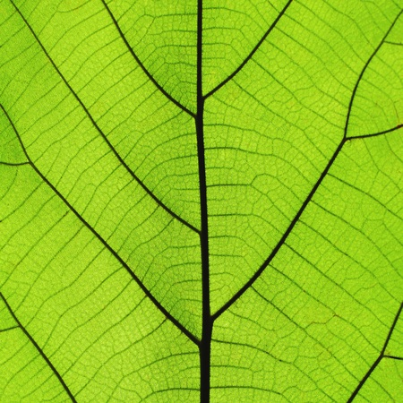 Rich green leaf texture see through symmetry vein structure, 1:1, natural organic texture concept Imagens