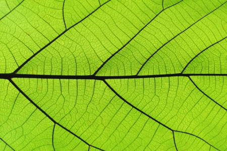 Rich green leaf texture see through symmetry vein structure, natural organic texture concept Stock Photo