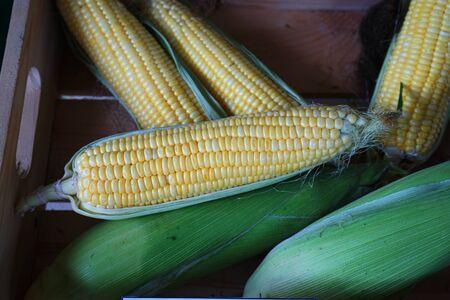 Peel fresh sweet corn after harvesting, copy space Imagens