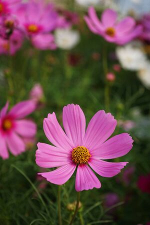 Beautiful pink cosmos flower blooming in backyard garden planting