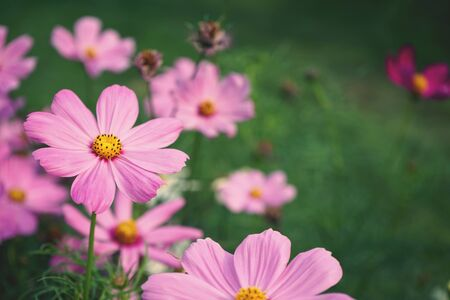 Beautiful pink cosmos flower blooming in backyard garden, copy space