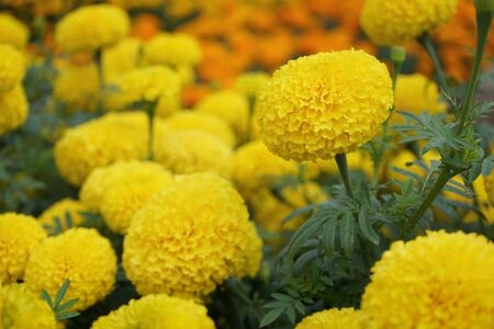 Houseplant ornamental garden, orange marigold flower backyard crop, copy space 版權商用圖片