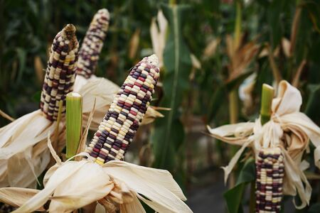 Fancy white, purple and yellow waxy corn crop at harvesting stage, agriculture farm