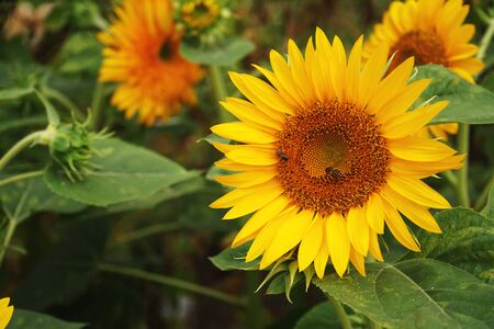 Yellow sunflower and bees at backyard ornamental garden, home flower decoration, copy space