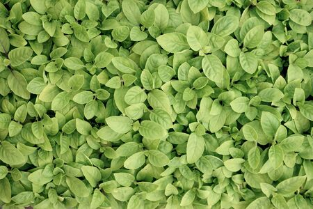 Vegetable, amaranth, plant nursery prepare for agricultural crop, texture pattern, copy space