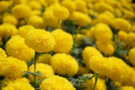 Houseplant ornamental garden, yellow marigold flower backyard crop, copy space 版權商用圖片