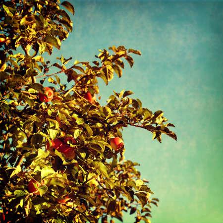 arbol de manzanas: la naturaleza de fondo la vendimia