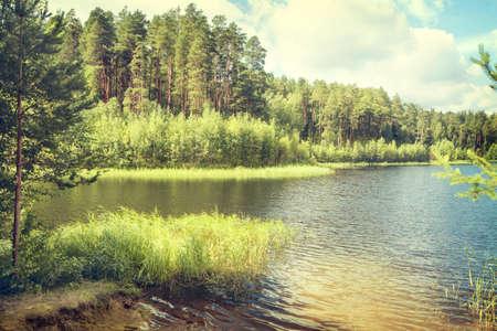 pine forest: summer background