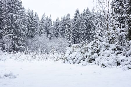 snow on the background of a winter forest