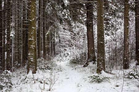 winter forest: snow on the background of a winter forest