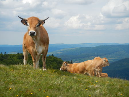 Aubrac cows standing on the grass photo