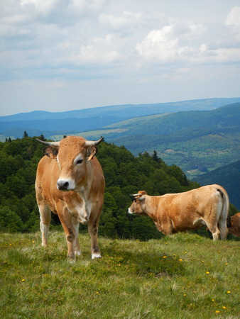 Aubrac cows standing on the grass