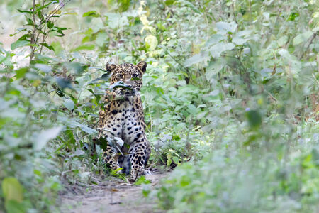 panthera pardus: Panthera pardus, wild leopard in jungle, Nepal Stock Photo