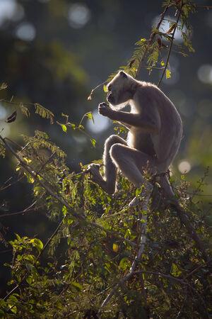 hanuman langur: Semnopithecus entellus, Hanuman Langur
