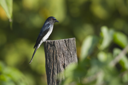 bellied: WHITE BELLIED DRONGO
