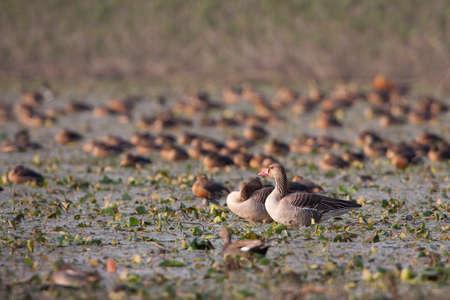 anser: Anser anser,  greylag goose in Nepal