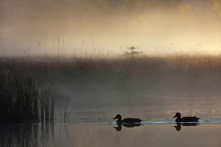 mallard duck: Anas platyrhynchos, mallard duck in France