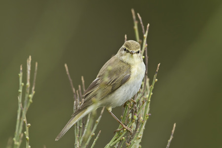 warbler: Phylloscopus trochilus,  willow warbler Stock Photo