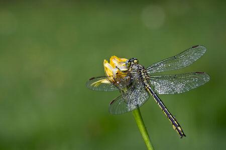 snaketail: Ophiogomphus cecilia,  Green Snaketail Stock Photo