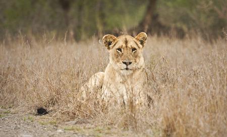 Wild female lion, Kruger National Park, South Africa