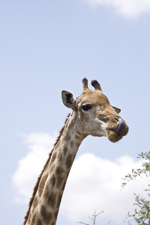 close-up on giraffe head Kruger, South Africa photo