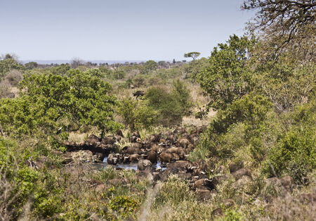 kruger national park: wild buffalos bathing, Kruger National Park, South Africa