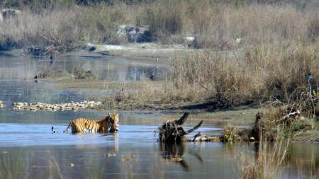 panthera tigris: Panthera tigris tigris, Bengal tiger crossing the river, Bardia, Nepal