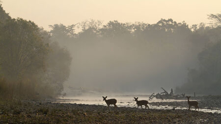 axis: Axis axis, grupo de ciervos manchados, r�o Karnali, Bardia, Nepal Foto de archivo