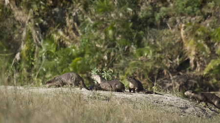 uncommon: Lutra perspicillata, smooth coated Indian otters, Nepal Stock Photo