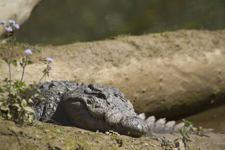 mugger: Crocodilus palustris, Crocodilus palustris, mugger crocodile in Nepal