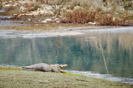 mugger: Crocodilus palustris, mugger crocodile in Nepal