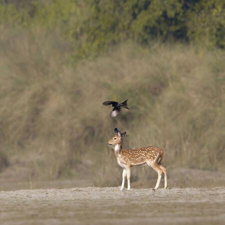 axis: Eje del Eje; Dicrurus macrocercus, ciervos manchados en Nepal, el Parque Nacional de Bardia Foto de archivo