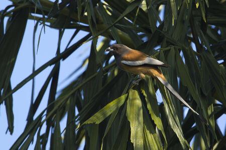 corvidae: Dendrocitta vagabunda,  rufous treepie, Nepal