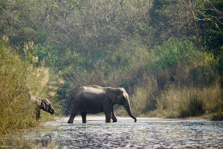 Elephas maximus, asian elephant crossing river Karnali, Nepal