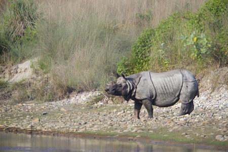 horned: Rhinoceros unicornis, one horned rhinoceros Greater, Nepal